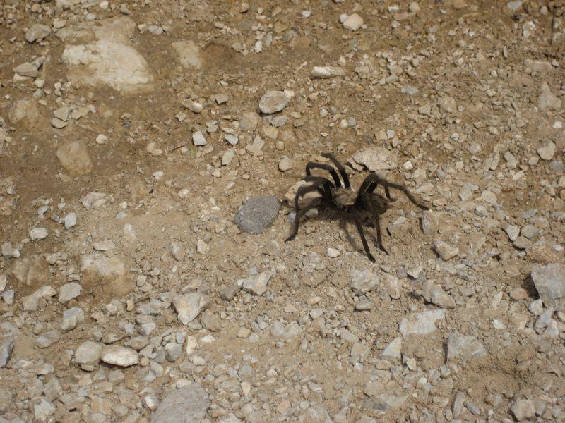 Tarantula -- Red Rock Canyon NV