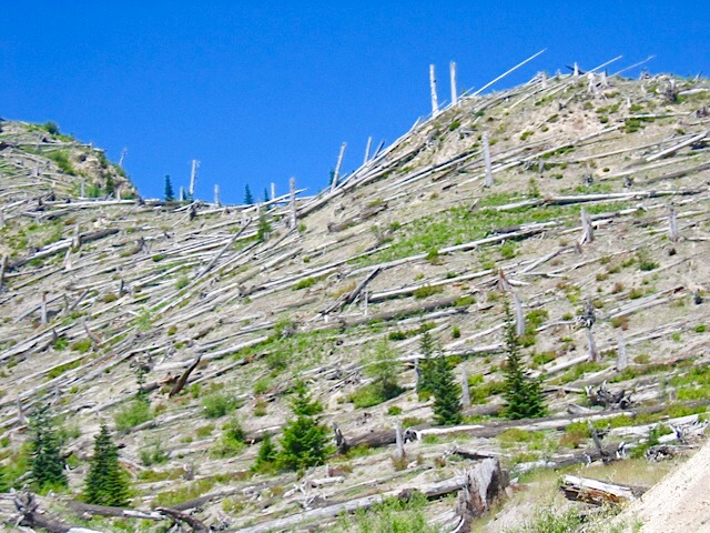 Blown over trees on Mt. St. Helens in Washington State